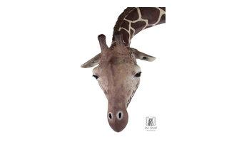 Gracie the Giraffe Sculpture