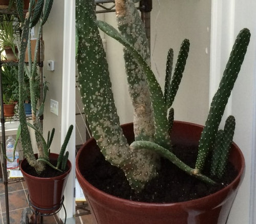 Trying To Identify My Cactus