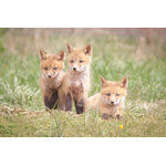 "Pi Photography Wall Art and Fine Art - ""Siblings"" (Baby Foxes) Wildlife Photography Unframed Wall Art Print, 24""x36"" - ""Siblings"" Wildlife Photography - Luster Photo Paper Unframed Wall Art Print"