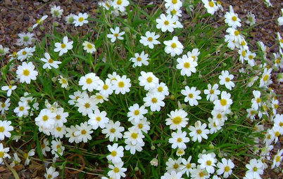 white flowers great design plant blackfoot daisy for prettier dry ground - Montauk Daisy