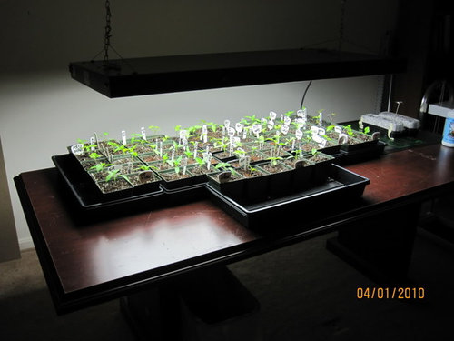 I Raised It Up For This Pic To See The Seedlings Normally S An Inch Or Two Above Seedling Tops Is Hydrofarm T5 6600x8 Model