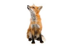 Forest Friends Fox Wall Sticker