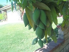 Everbearing Mangos Is It True