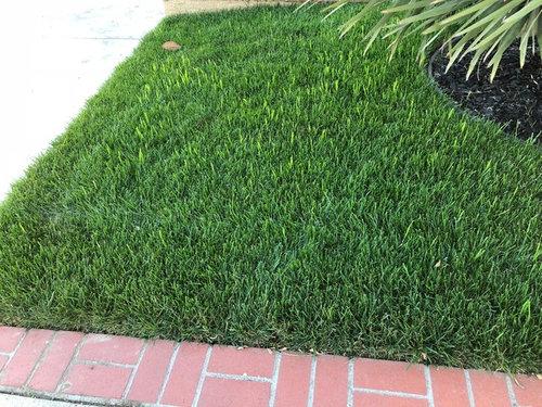 Need Help Identifying Grass Like Weed In My New Marathon