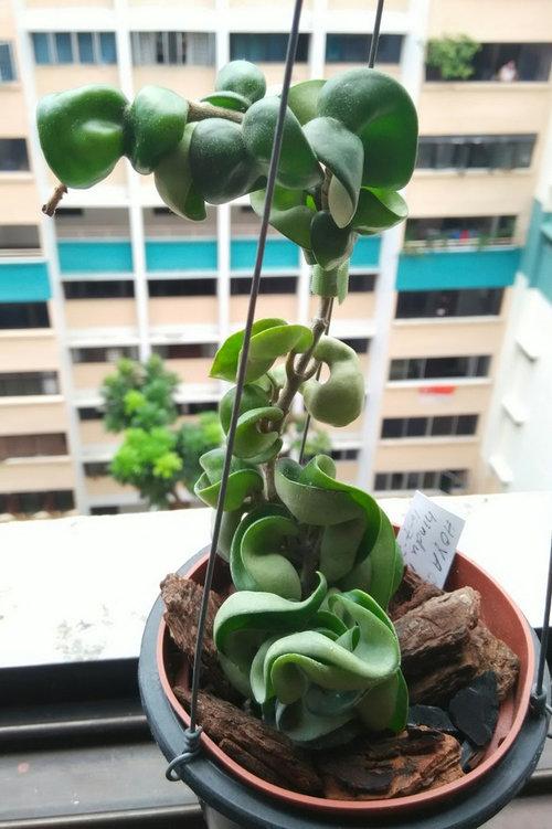 Hoya Hindu Rope Not Growing