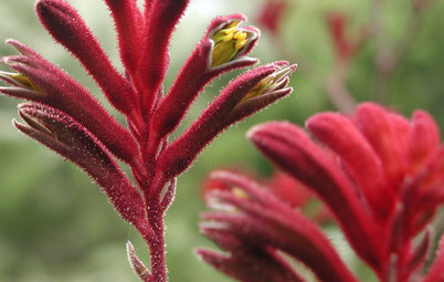 Great Design Plant: Red Kangaroo Paw