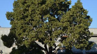 Acacia melanoxylon (Blackwood)
