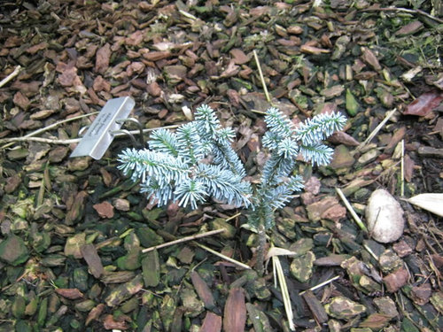 Abies Amabalisfraseriother Less Common Firs Photo Gallery 2010