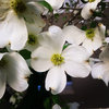 Great Design Plant: Cornus Florida Benefits Wildlife