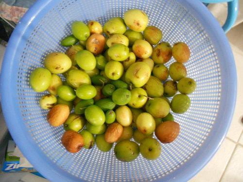 Thai Jujube harvest