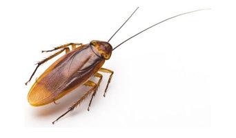 Cockroach Control Service Brisbane