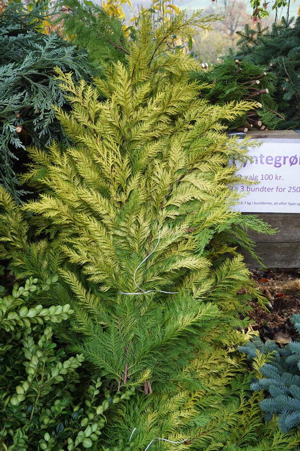 Masser af frisk pyntegrønt, fra egen skov, dyrket uden kemi.