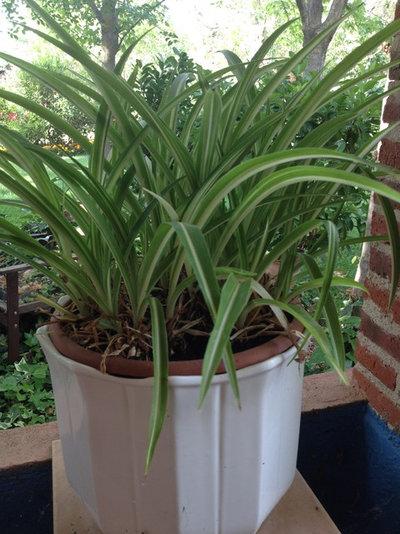 La cinta una planta cl sica y muy decorativa - Cinta planta ...