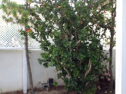 Hard Prune For Ugly Hibiscus