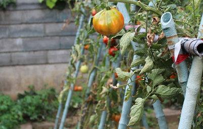 Ortaggi Indispensabili: Coltivare il Pomodoro, Anche sul Balcone