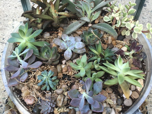 Just bought succulents from Home Depot and now their dying! on jade plant home depot, indigo plant home depot, lipstick plant home depot,