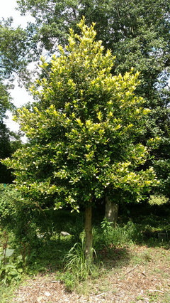 Holly Tree Question