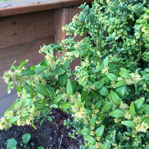 Evergreen shrub variegated leaves tiny yellow flowers it has stiffer branches than the lonicera nitida im making a hedge out of and from the photos i can find the flowers dont look right mightylinksfo
