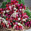 Cool-Season Vegetables: How to Grow Radishes