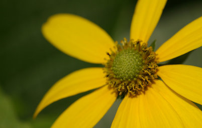 Rudbeckia Laciniata Enlivens Late-Season Shady and Sunny Sites
