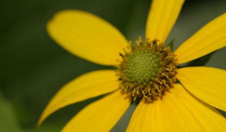 Rudbeckia Laciniata Enlivens Late-Season Shady and Sunny Sites