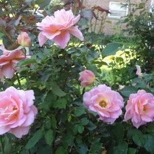 Roses 2016