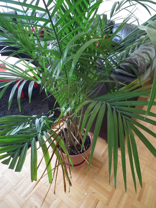 Parlour Palm drying up, why? on hornwort care, peperomia graveolens care, sinningia care, blue campanula care, gorgonian care, summer care, school care, photosynthesis care, paint care, equipment care, lichen care, nematanthus care, ledebouria socialis care, houseplants care, land care, haworthia pumila care, guzmania tempo care, zoanthid care, lawn care, cycad care,