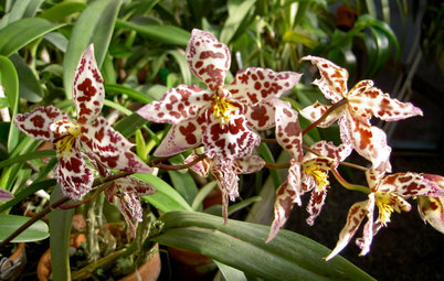 Orchids 101: Frilly Oncidiums Dance Their Way to Center Stage