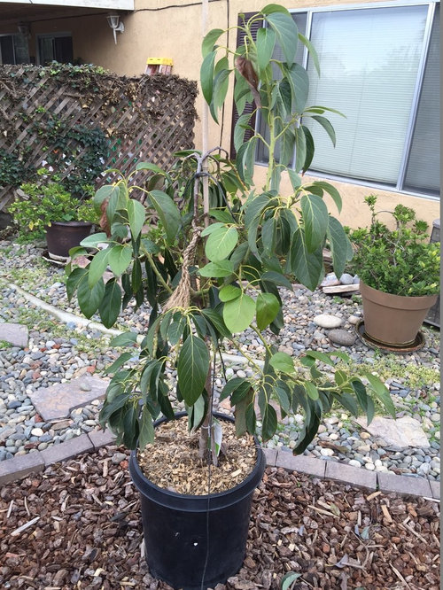 The Larger Tree Is My Wurtz And Smaller One Mexicola Plans Are To Leave All Avocado Trees In Containers Keep Them Manageable Size