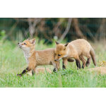 "Pi Photography Wall Art and Fine Art - ""Head Held High"" (Baby Foxes) Wildlife Photography Unframed Wall Art Print, 24""x - ""Head Held High"" Wildlife Photography - Luster Photo Paper Unframed Wall Art Print"