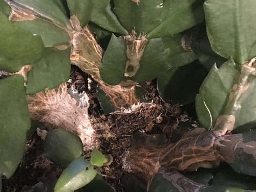 Christmas Cactus Problems.Christmas Cactus Disease