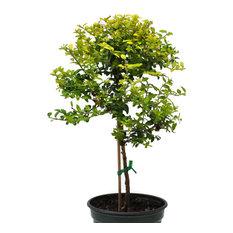 Boxwood Honeysuckle, Tree Form, Goldie - Lonicera nitida