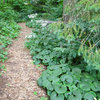 Asarum Canadense Adds Masses of Green to Woodland Gardens