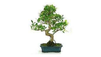 Bonsái 10 años Ficus retusa de China