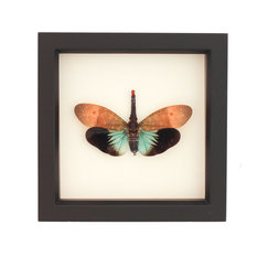 Framed Insect Tropical Lantern Fly Display