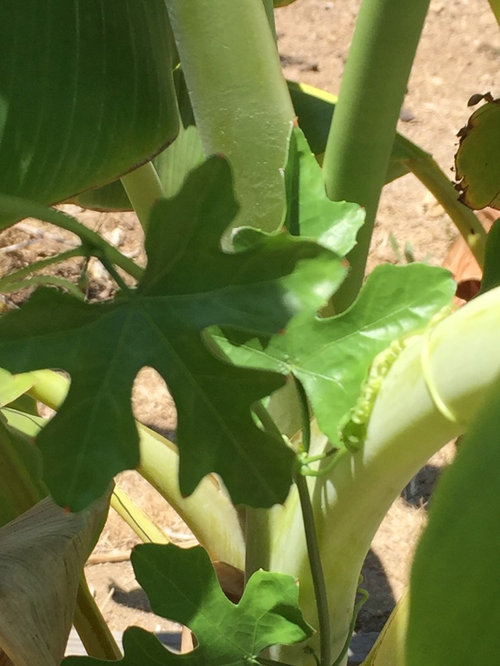 Two Vines Growing On Banana Plants
