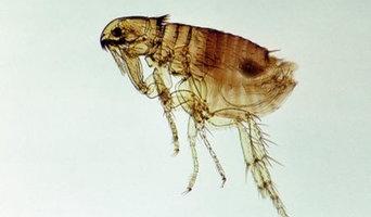 Flea Control Melbourne