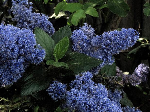 Ceanothus California Lilac