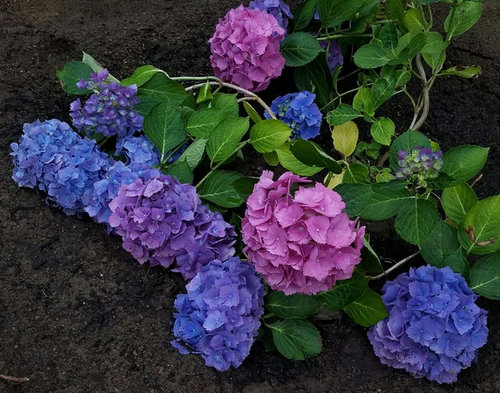 Suggestions For Hydrangea Treatments To Darken Leaves And Flowers