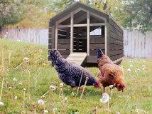 Hühnerhaltung Im Garten hühnerhaltung im garten tipps infos