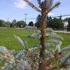Blue Spruce in Trouble