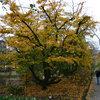 Great Design Tree: Persian Ironwood