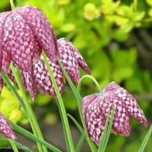7 Delightfully Different Bulbs for Your Spring Garden