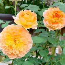 Rose - Molineux