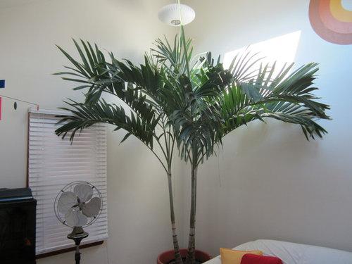Indoor Christmas Palms Adonidia Merrillii Should I Repot