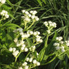Great Native Plant: Grow Wild Quinine for Its Unique Clusters of Blooms