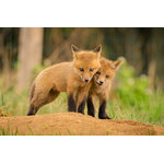 "Pi Photography Wall Art and Fine Art - ""Close to You"" (Baby Foxes) Wildlife Photography Unframed Wall Art Print, 20""x30 - ""Close to You"" Wildlife Photography - Luster Photo Paper Unframed Wall Art Print"
