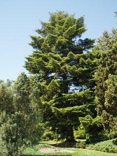 Heat Tolerant Conifers