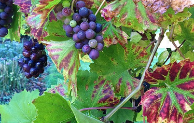 When Should You Prune Your Grape Vine?