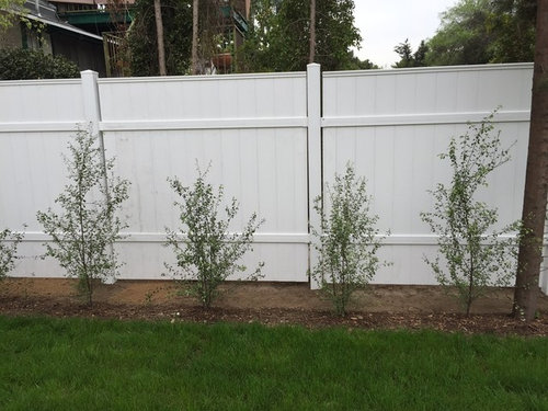 I Just Planted 24 Young Silver Sheen For Creating A Hedge Screen And M Panicking About Making Those First Cuts Ve Scoured The Net Found Only Very